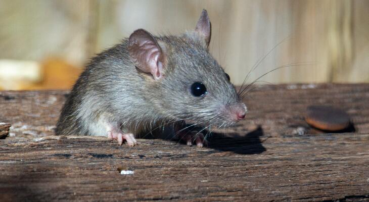 Ezzel a 8 trükkel örökké távol tarthatod az egereket otthonodtól! 415ee34599