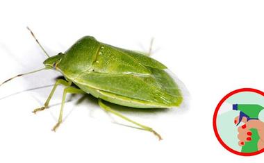 Védekezni poloska ellen - vándorpoloska, mint büdös bogár