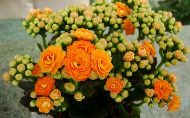 Pénzhozó szobanövények a feng shui szerint