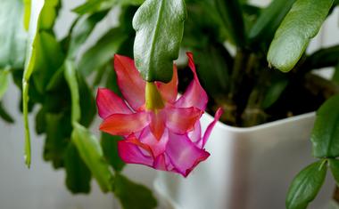 Öt bevált trükk a karácsonyi kaktusz virágzásához